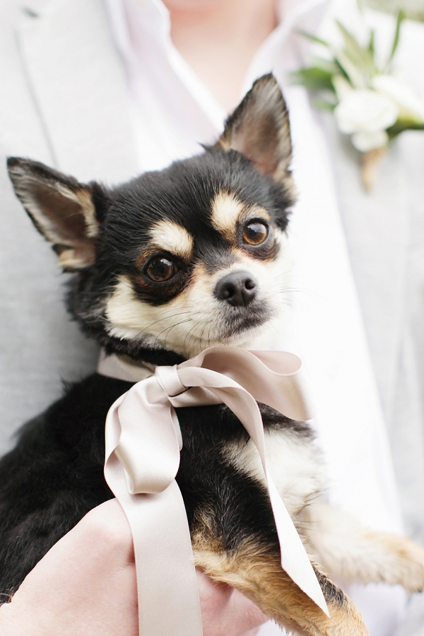 pet Chihuahua dog wearing a pretty pink silk ribbon