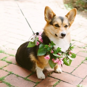 Corgi Flower Girl