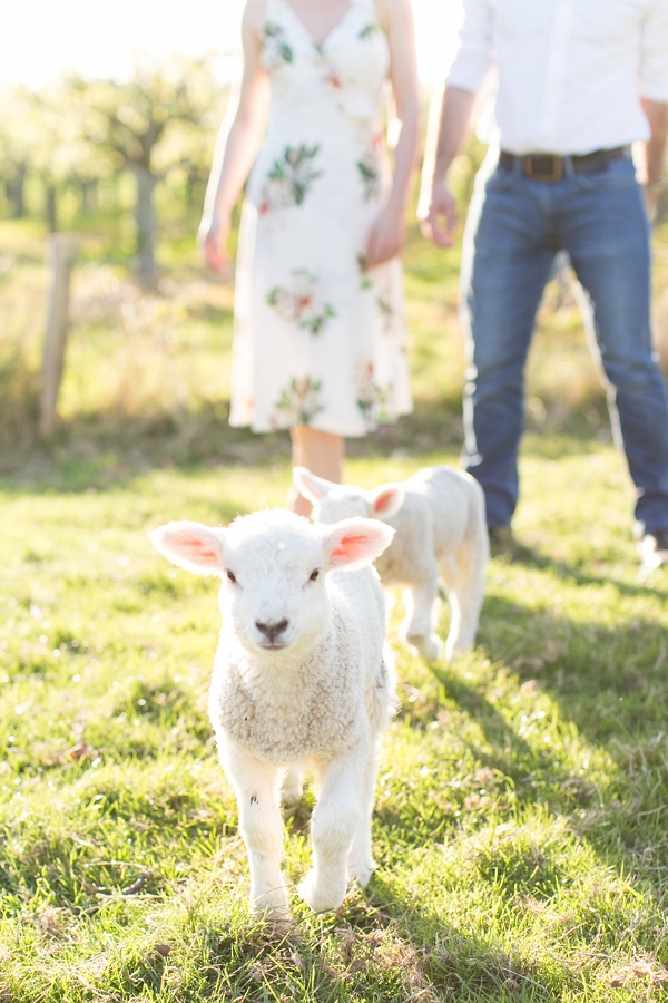 Spring engagement session with lovely little Lambs