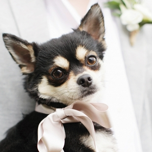 pet Chihuahua dog wearing a pretty pink silk ribbon