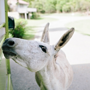 Donkey at Caneel Bay
