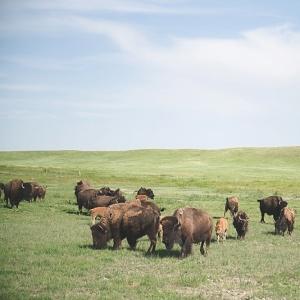 Buffalo adventure in Wyoming