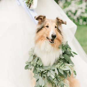 Wedding Collie Dog