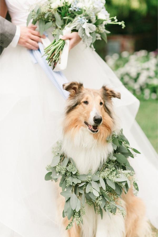 Wedding Collie Dog
